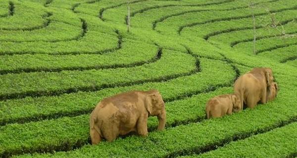 munnar-tea-gardens-elephants-1522515466.jpg