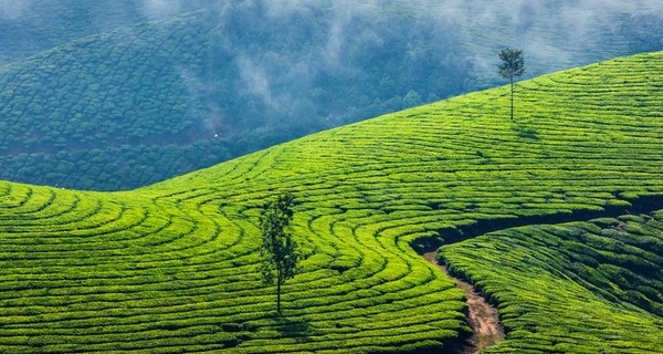 green-tea-plantatations-munnar-kerala-1523453171.jpg