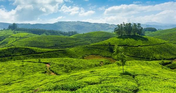 munnar-tea-plantations-green-1521739374.jpg