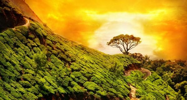 wayanad-tea-plantation-kerala-1519322023.jpg