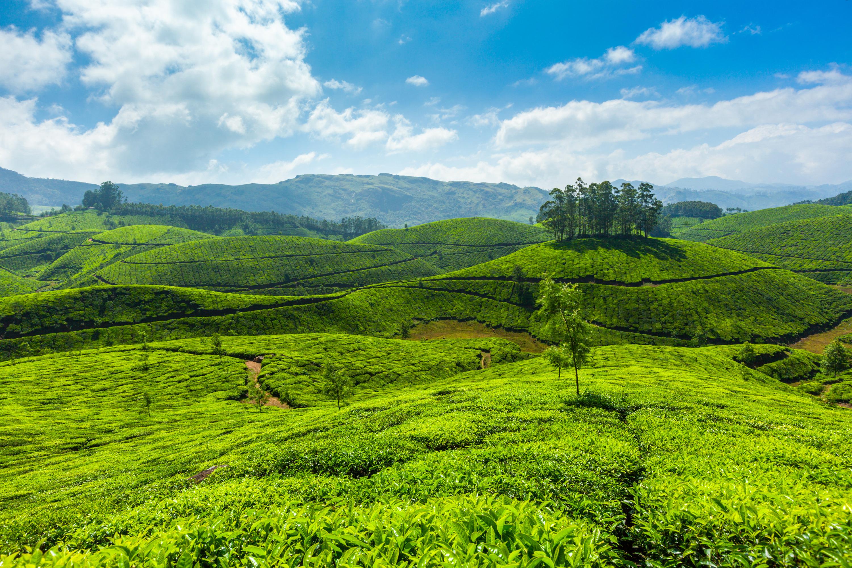 Tea plantations Munnar