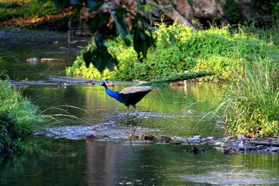 Peacock Dances in Mayiladumpara