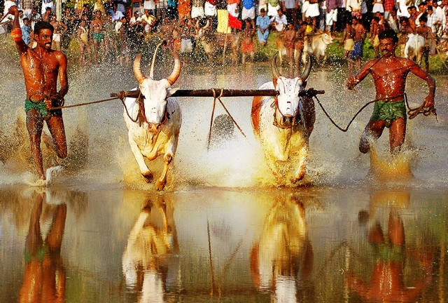 Maramadi or Bull Races is held every year in Kerala during  the post-harvest season