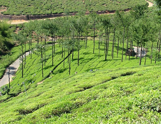 vagamon-tea-plantations