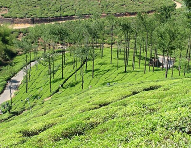 vagamon-tea-plantations