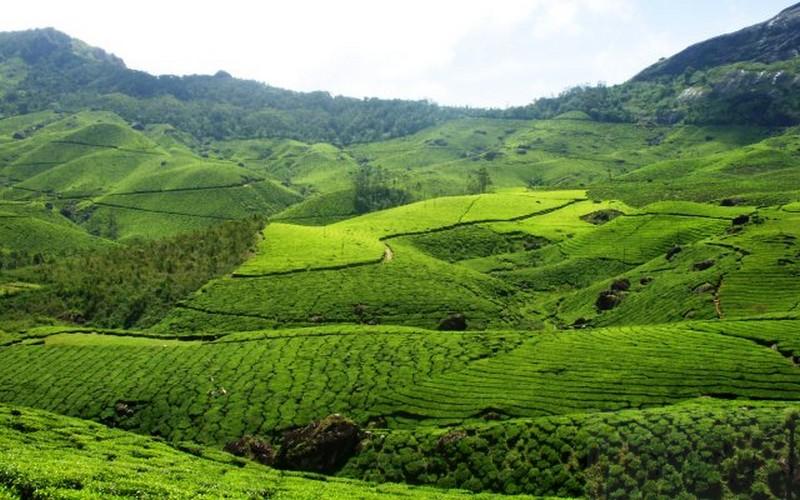 Munnar Tea Plantations in Munnar