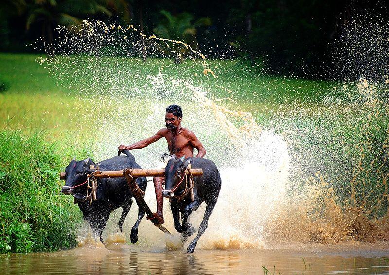 maramadi-bullock-cart-race-kerala