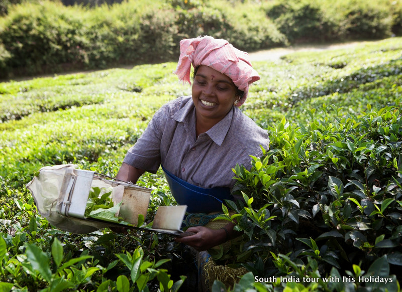 Tea Picking in Munnar
