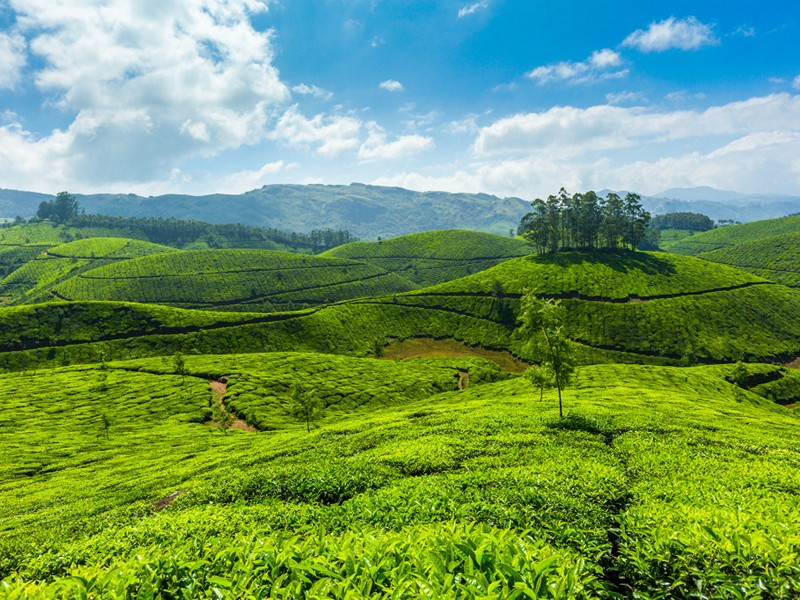 Tea Gardens in Munnar Hill Station , Kerala, India