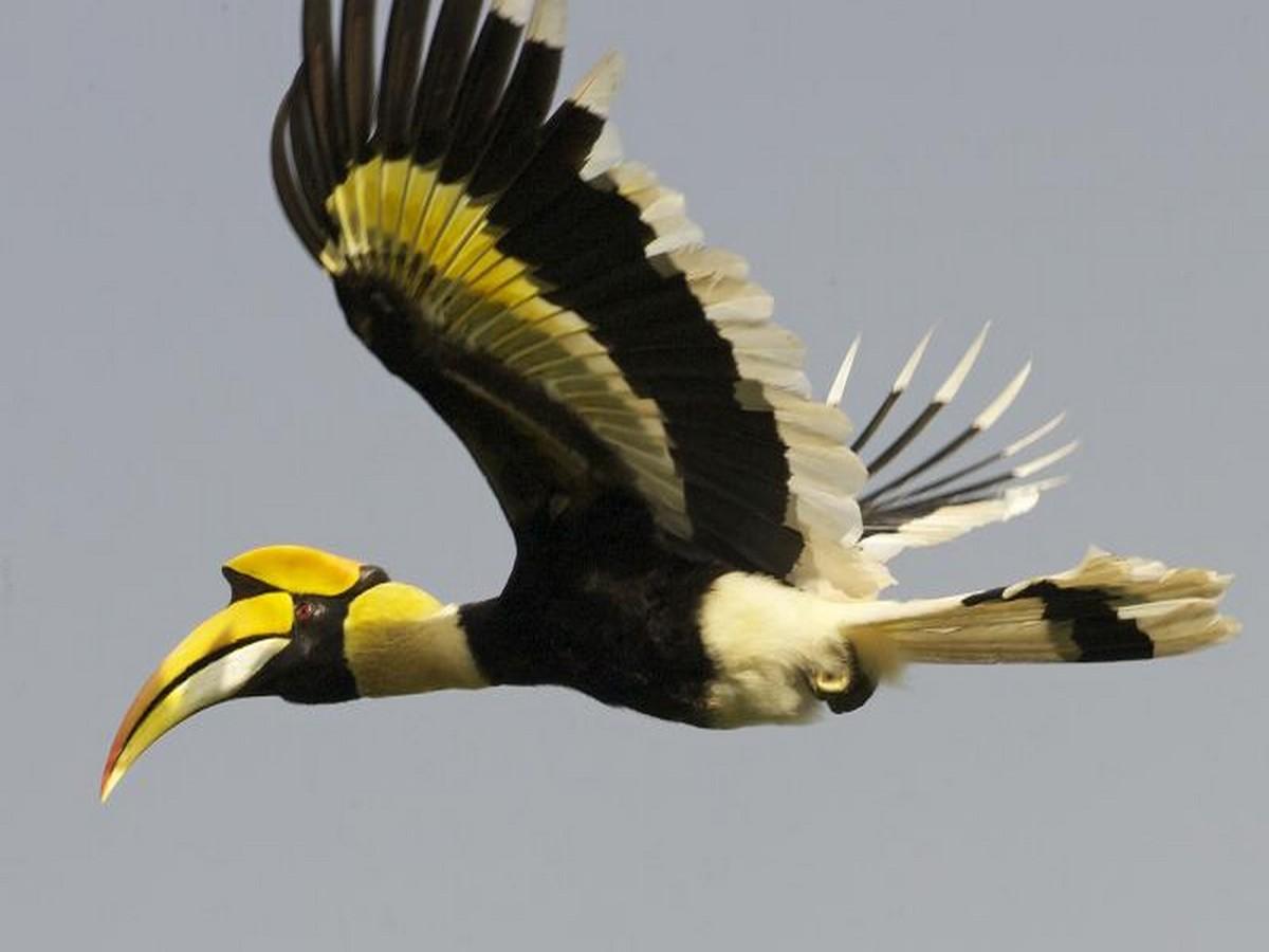 Endangered Hornbill species