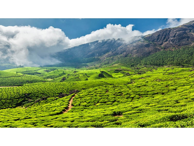Tea Gardens in Munnar Kerala