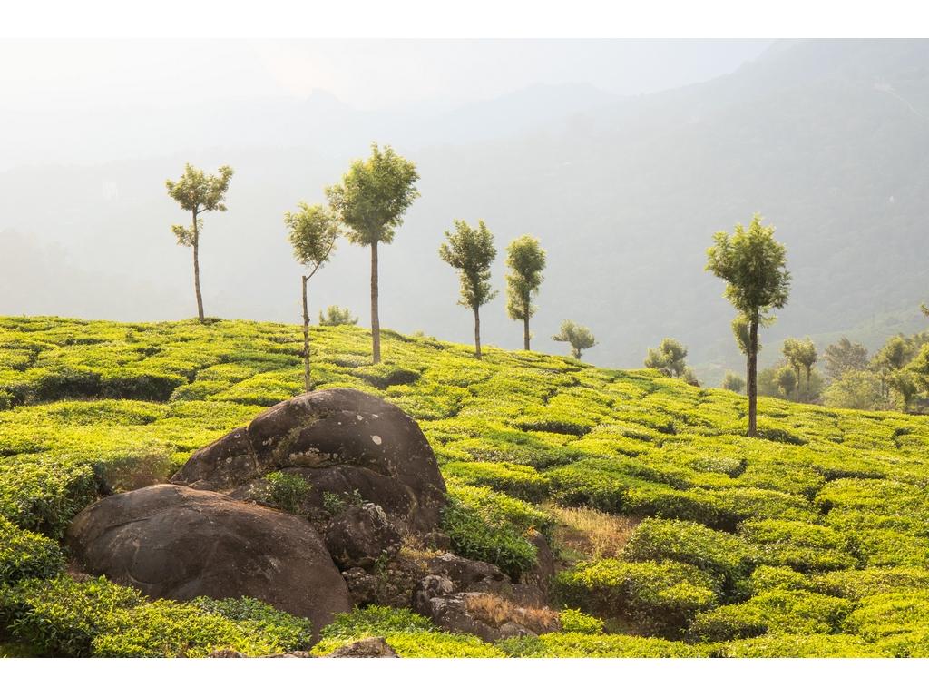 munnar-tea-gardens