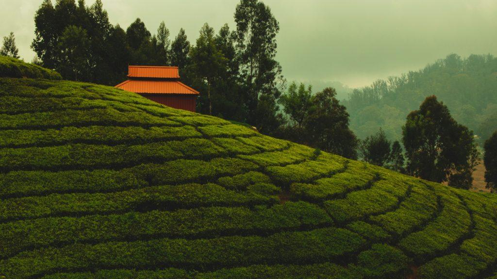 Tea Gardens om Wayanad